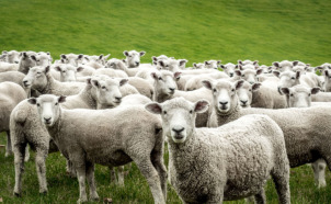 Sheep Farming and the Doctrine of Equivalents